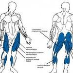 Энергообмен в мышцах во время бега