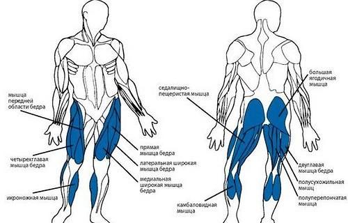 энергообмен в мышцах